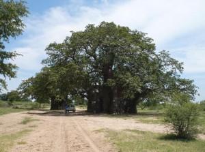 baobab-xangongo